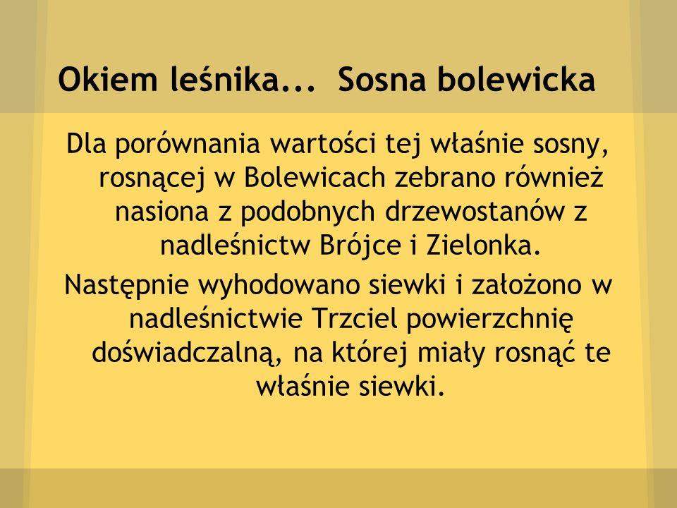 Okiem leśnika... Sosna bolewicka Dla porównania wartości tej właśnie sosny, rosnącej w Bolewicach zebrano również nasiona z podobnych drzewostanów z n