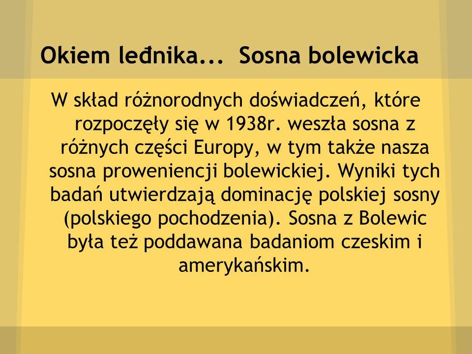 Okiem leđnika... Sosna bolewicka W skład różnorodnych doświadczeń, które rozpoczęły się w 1938r. weszła sosna z różnych części Europy, w tym także nas