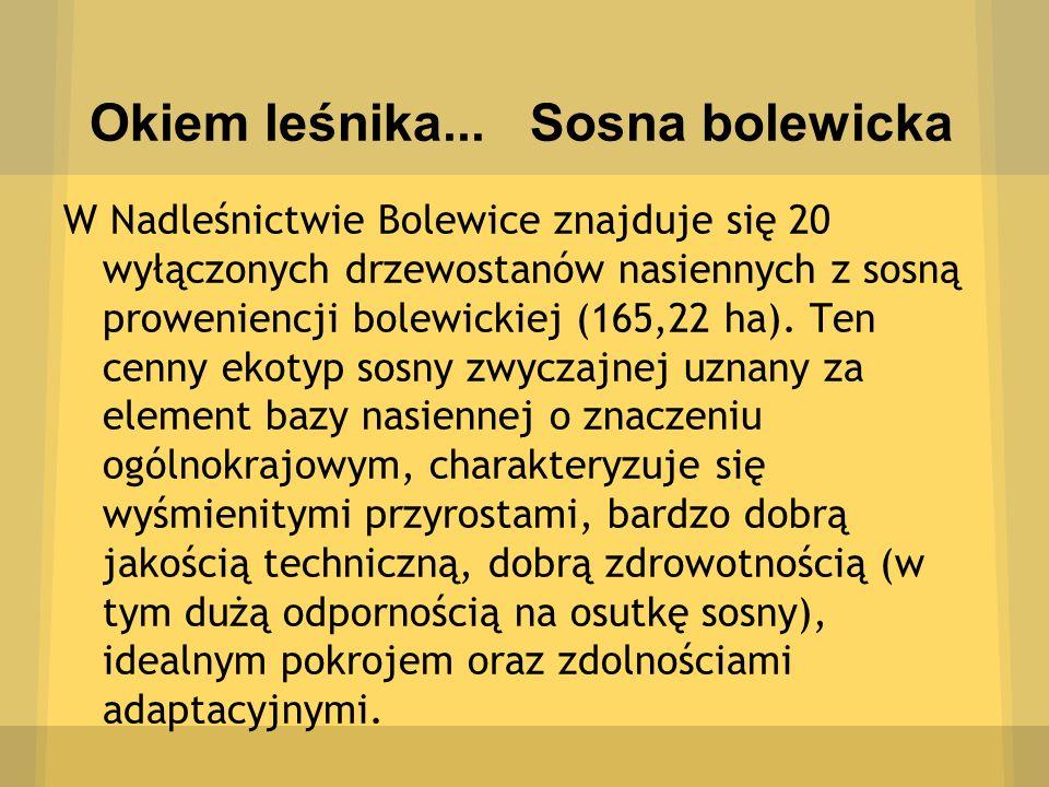 Okiem leśnika... Sosna bolewicka W Nadleśnictwie Bolewice znajduje się 20 wyłączonych drzewostanów nasiennych z sosną proweniencji bolewickiej (165,22
