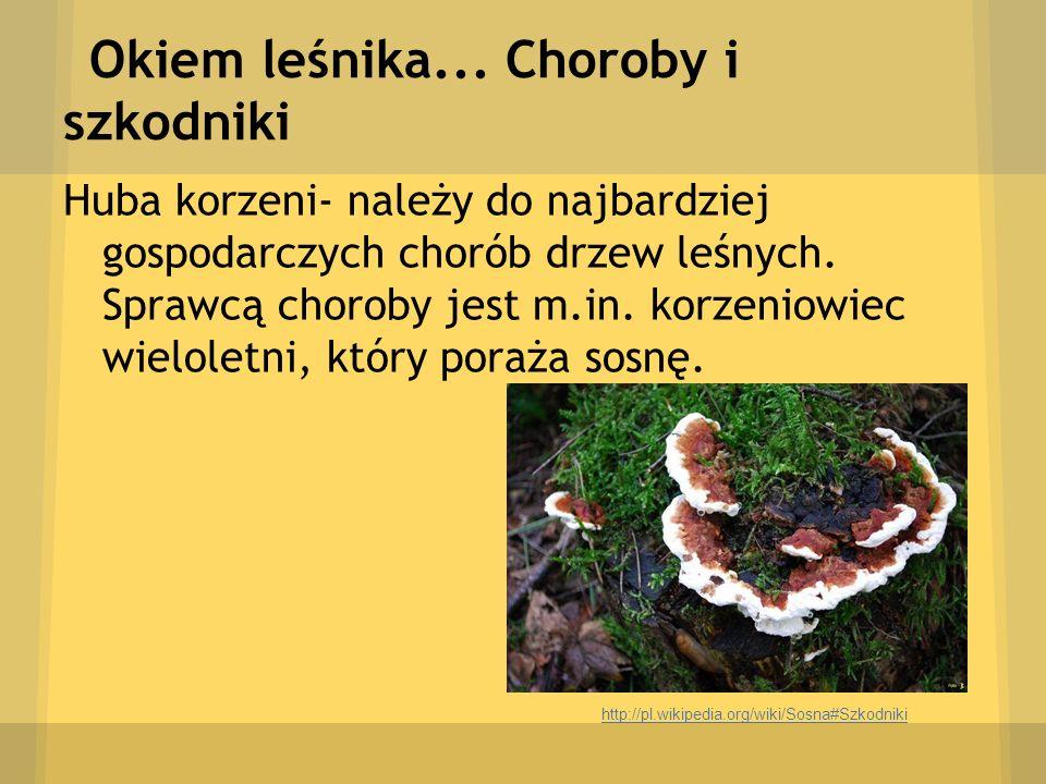 Okiem leśnika... Choroby i szkodniki Huba korzeni- należy do najbardziej gospodarczych chorób drzew leśnych. Sprawcą choroby jest m.in. korzeniowiec w