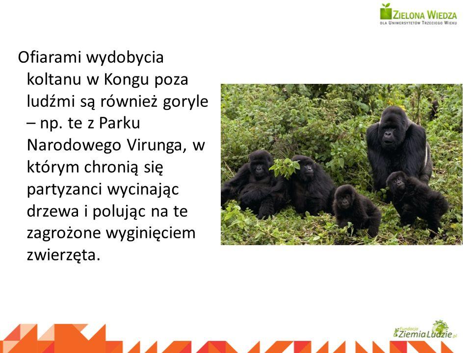 Ofiarami wydobycia koltanu w Kongu poza ludźmi są również goryle – np. te z Parku Narodowego Virunga, w którym chronią się partyzanci wycinając drzewa