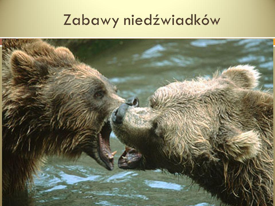Zabawy niedźwiadków