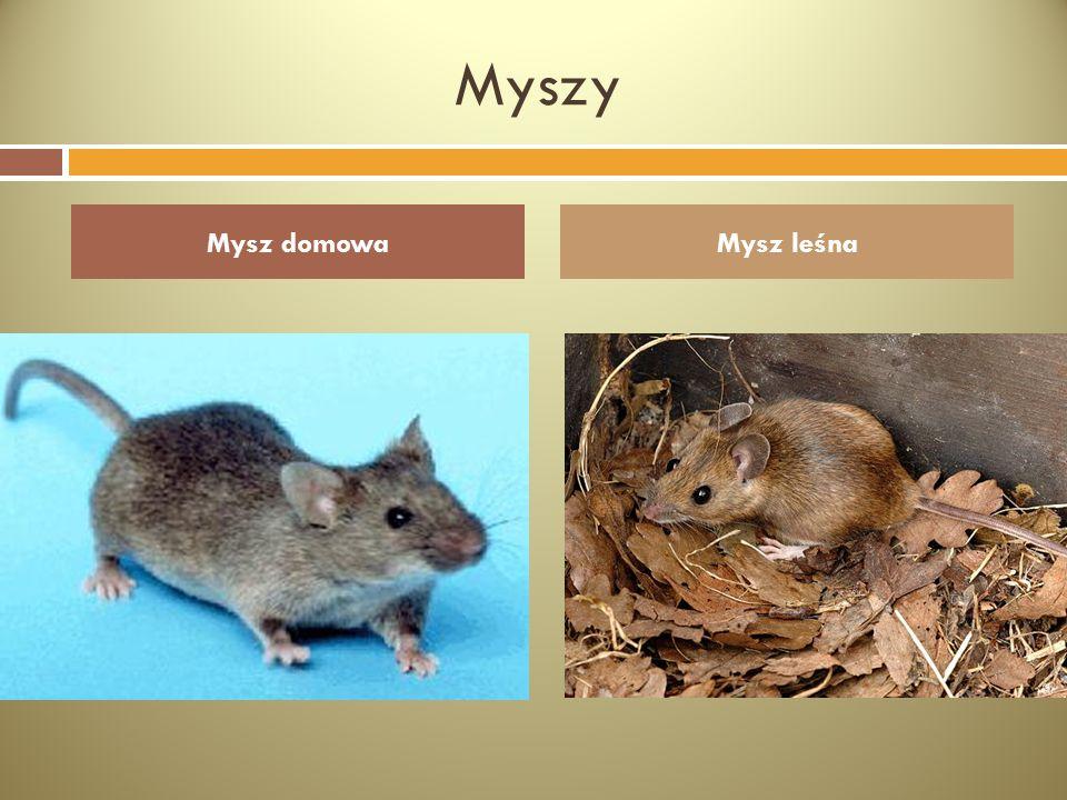 Myszy Mysz domowaMysz leśna