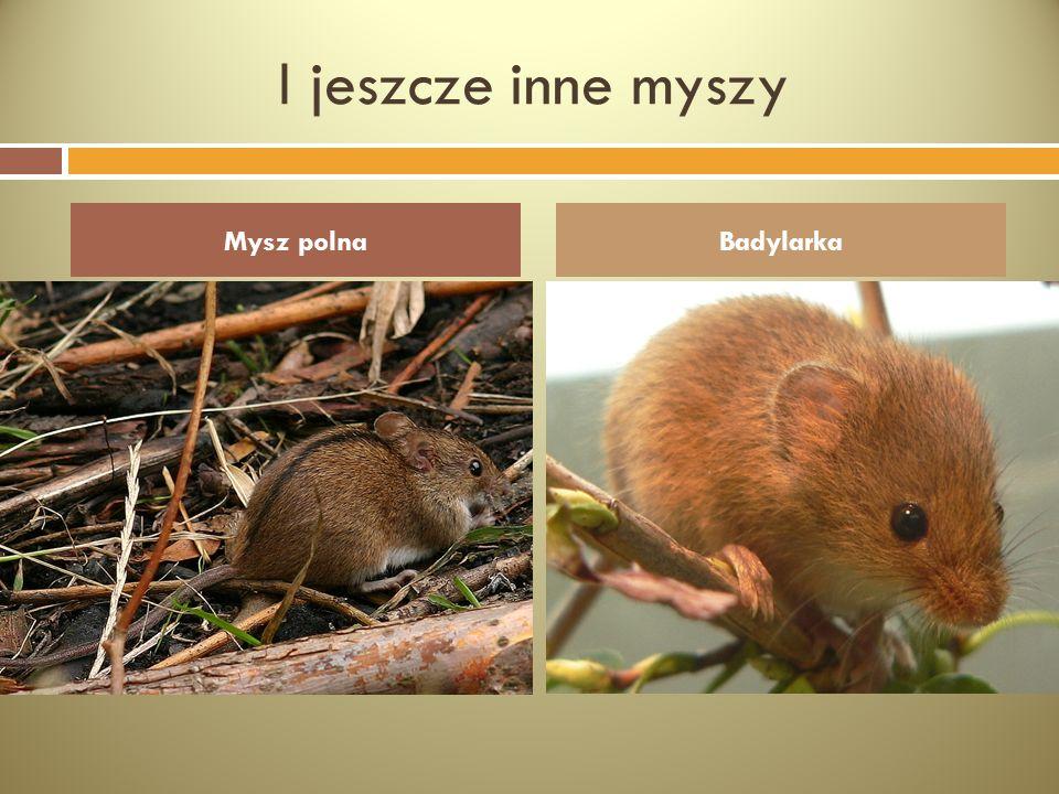I jeszcze inne myszy Mysz polnaBadylarka
