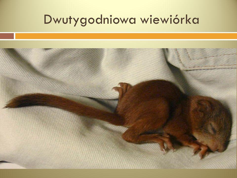 Dwutygodniowa wiewiórka