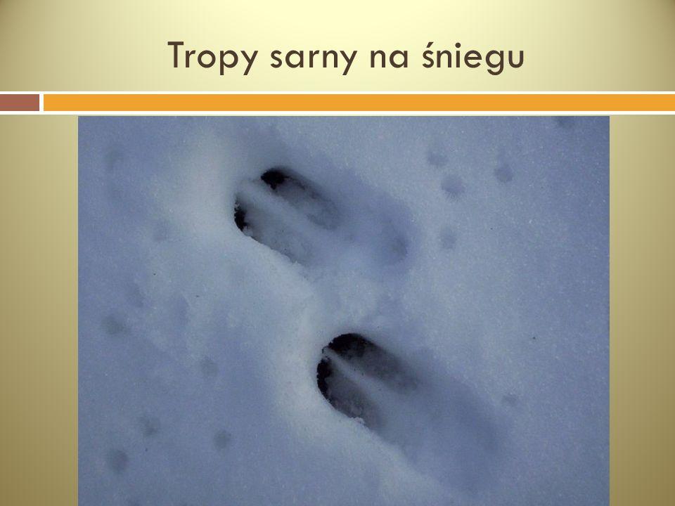 Tropy sarny na śniegu