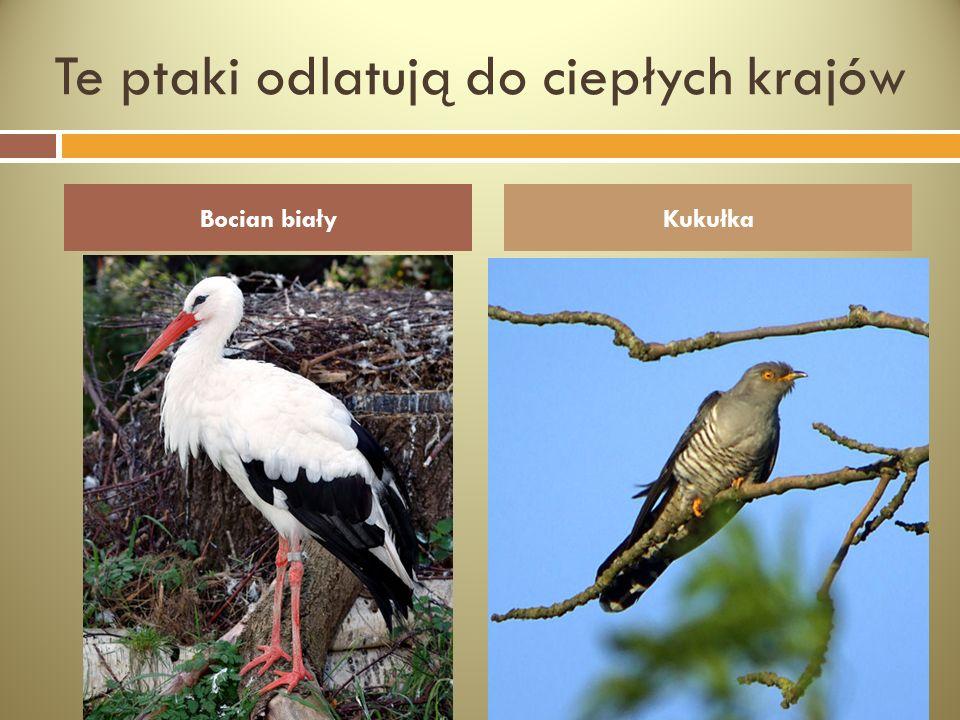 Te ptaki odlatują do ciepłych krajów Bocian białyKukułka