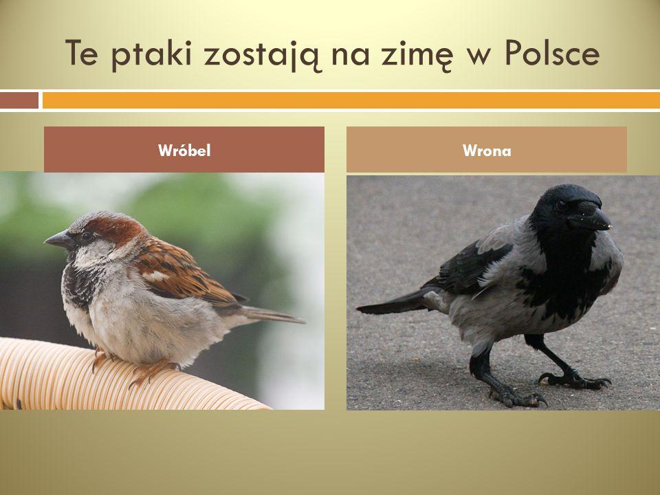 Te ptaki zostają na zimę w Polsce WróbelWrona