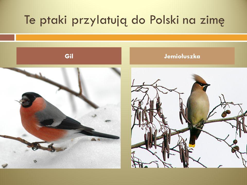 Te ptaki przylatują do Polski na zimę GilJemiołuszka