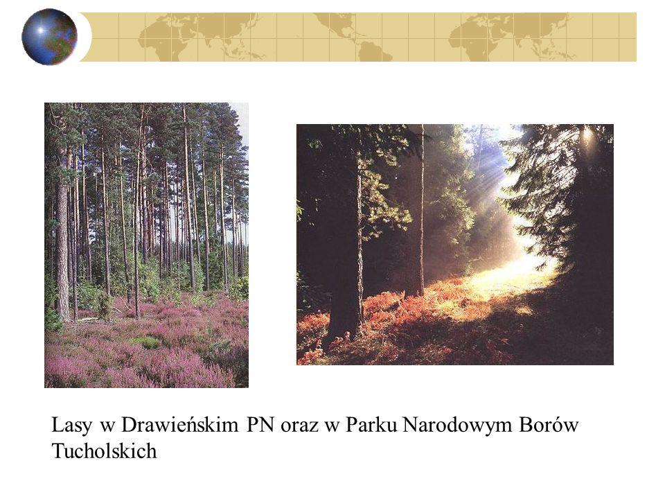 Lasy w Drawieńskim PN oraz w Parku Narodowym Borów Tucholskich