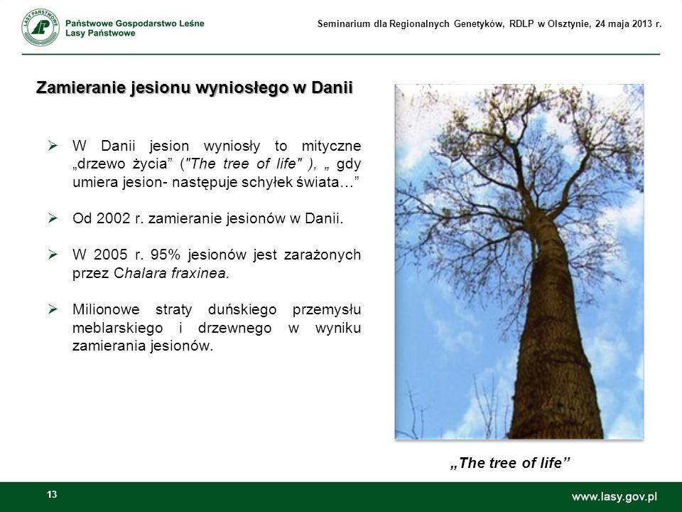 13 Zamieranie jesionu wyniosłego w Danii W Danii jesion wyniosły to mityczne drzewo życia (