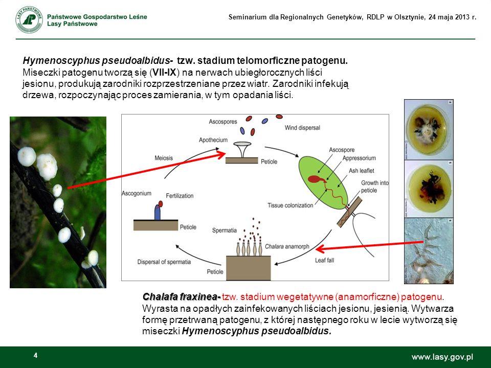 4 Hymenoscyphus pseudoalbidus- tzw. stadium telomorficzne patogenu. Miseczki patogenu tworzą się (VII-IX) na nerwach ubiegłorocznych liści jesionu, pr