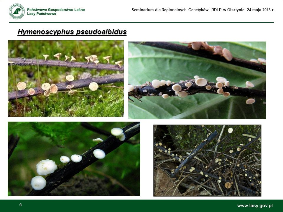 5 Hymenoscyphus pseudoalbidus Seminarium dla Regionalnych Genetyków, RDLP w Olsztynie, 24 maja 2013 r.