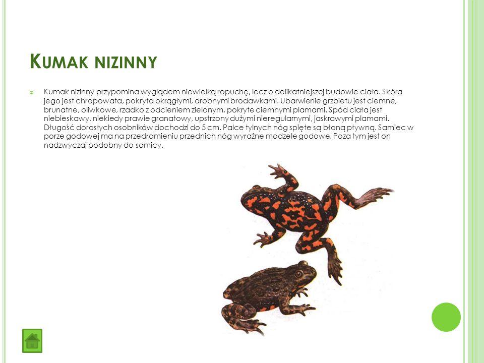 K UMAK NIZINNY Kumak nizinny przypomina wyglądem niewielką ropuchę, lecz o delikatniejszej budowie ciała.