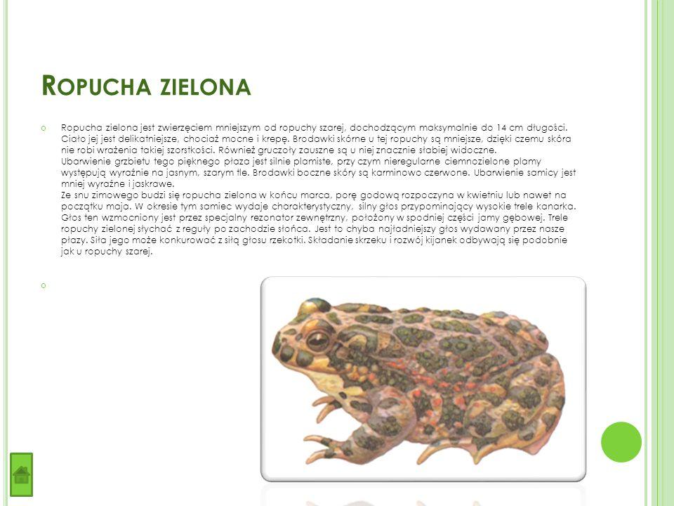 R OPUCHA ZIELONA Ropucha zielona jest zwierzęciem mniejszym od ropuchy szarej, dochodzącym maksymalnie do 14 cm długości.