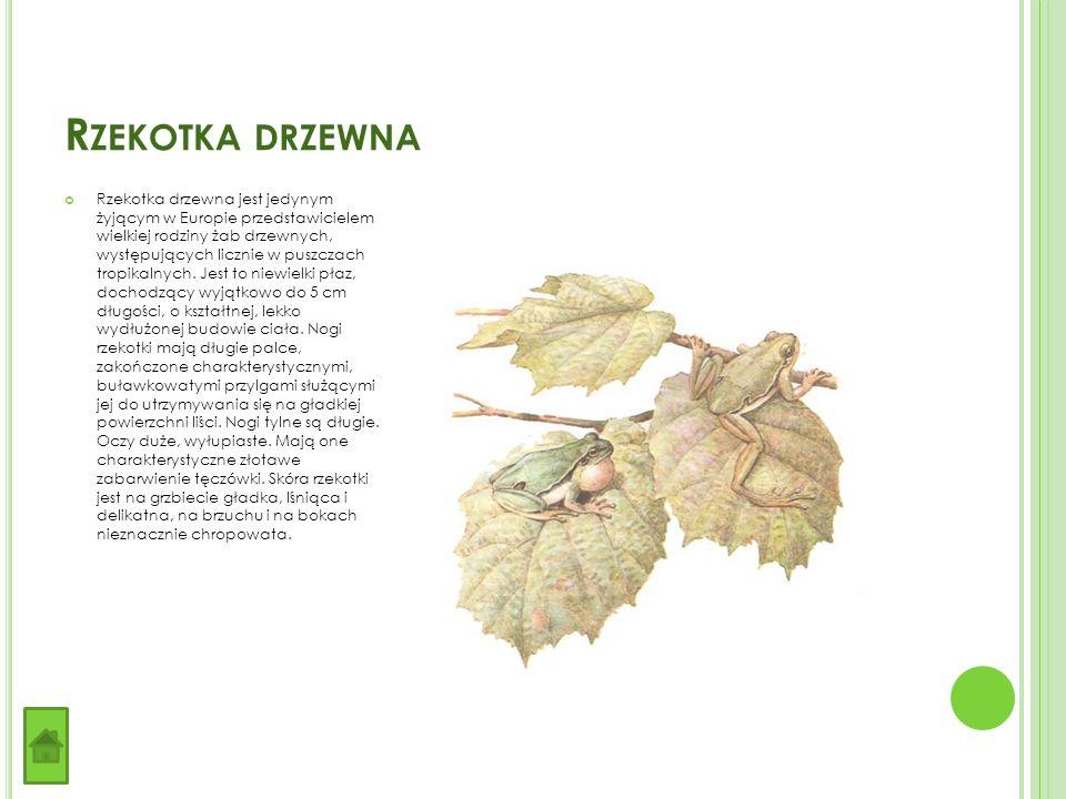 R ZEKOTKA DRZEWNA Rzekotka drzewna jest jedynym żyjącym w Europie przedstawicielem wielkiej rodziny żab drzewnych, występujących licznie w puszczach tropikalnych.