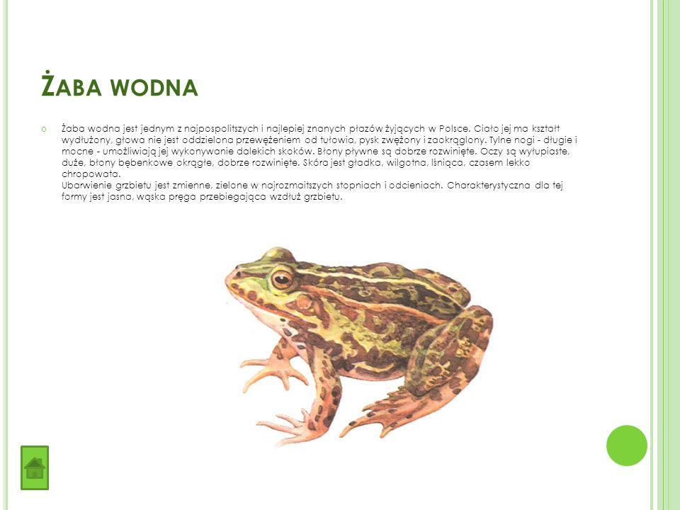 Ż ABA WODNA Żaba wodna jest jednym z najpospolitszych i najlepiej znanych płazów żyjących w Polsce.