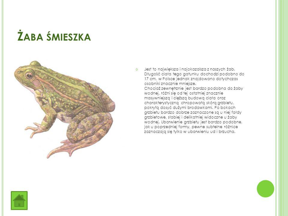 Ż ABA ŚMIESZKA Jest to największa i najokazalsza z naszych żab.