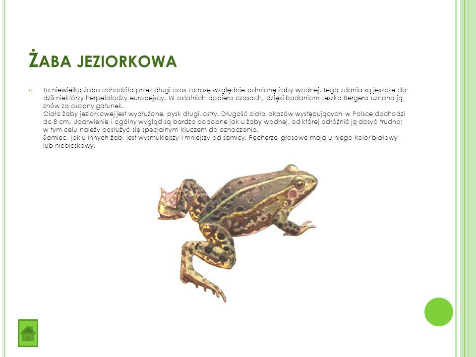 Ż ABA JEZIORKOWA Ta niewielka żaba uchodziła przez długi czas za rasę względnie odmianę żaby wodnej.