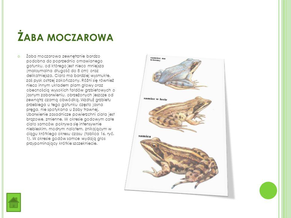 Ż ABA MOCZAROWA Żaba moczarowa zewnętrznie bardzo podobna do poprzednio omawianego gatunku, od którego jest nieco mniejsza (maksymalna długość do 8 cm) oraz delikatniejsza.