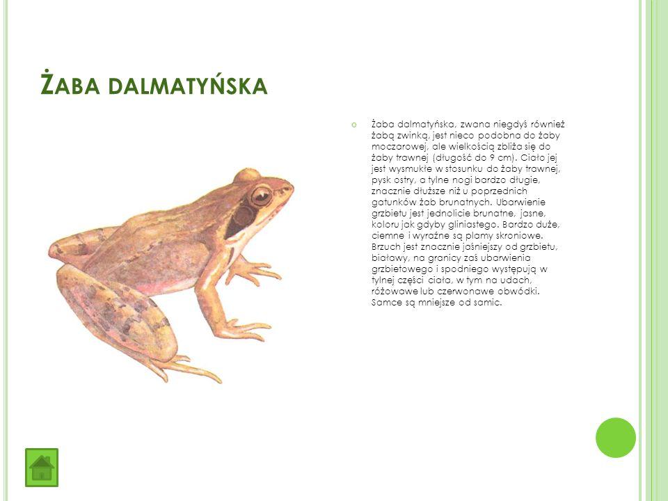 Ż ABA DALMATYŃSKA Żaba dalmatyńska, zwana niegdyś również żabą zwinką, jest nieco podobna do żaby moczarowej, ale wielkością zbliża się do żaby trawnej (długość do 9 cm).