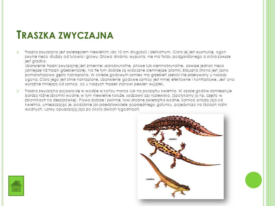 T RASZKA ZWYCZAJNA Traszka zwyczajna jest zwierzęciem niewielkim (do 10 cm długości) i delikatnym.