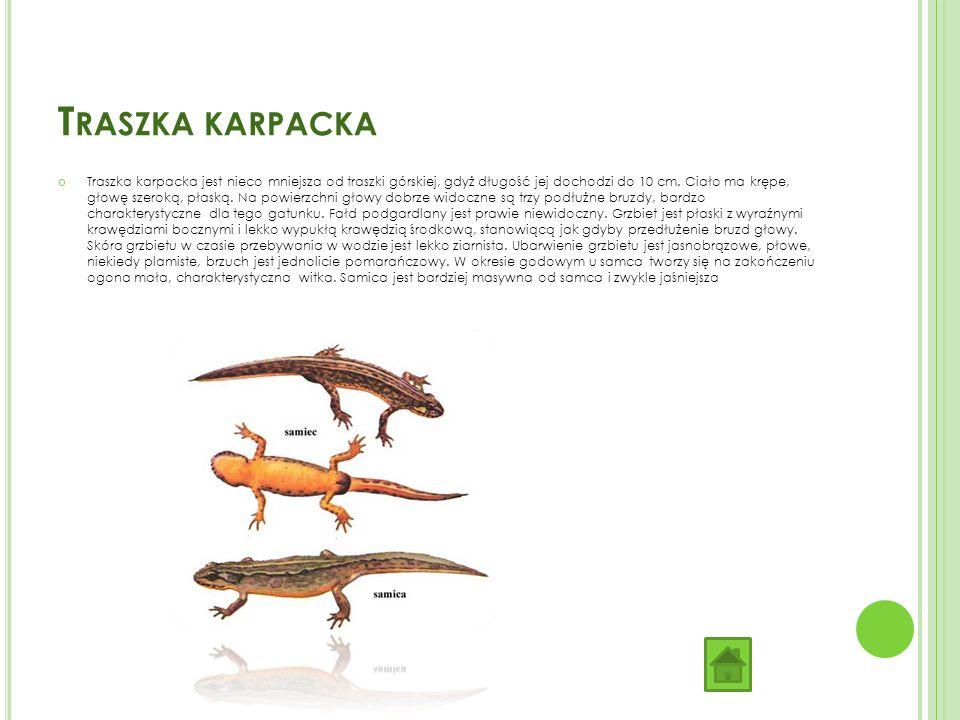 T RASZKA KARPACKA Traszka karpacka jest nieco mniejsza od traszki górskiej, gdyż długość jej dochodzi do 10 cm.