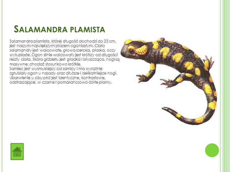 S ALAMANDRA PLAMISTA Salamandra plamista, której długość dochodzi do 23 cm, jest naszym największym płazem ogoniastym.