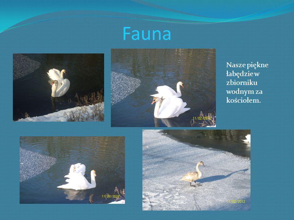 Fauna Nasze piękne łabędzie w zbiorniku wodnym za kościołem.