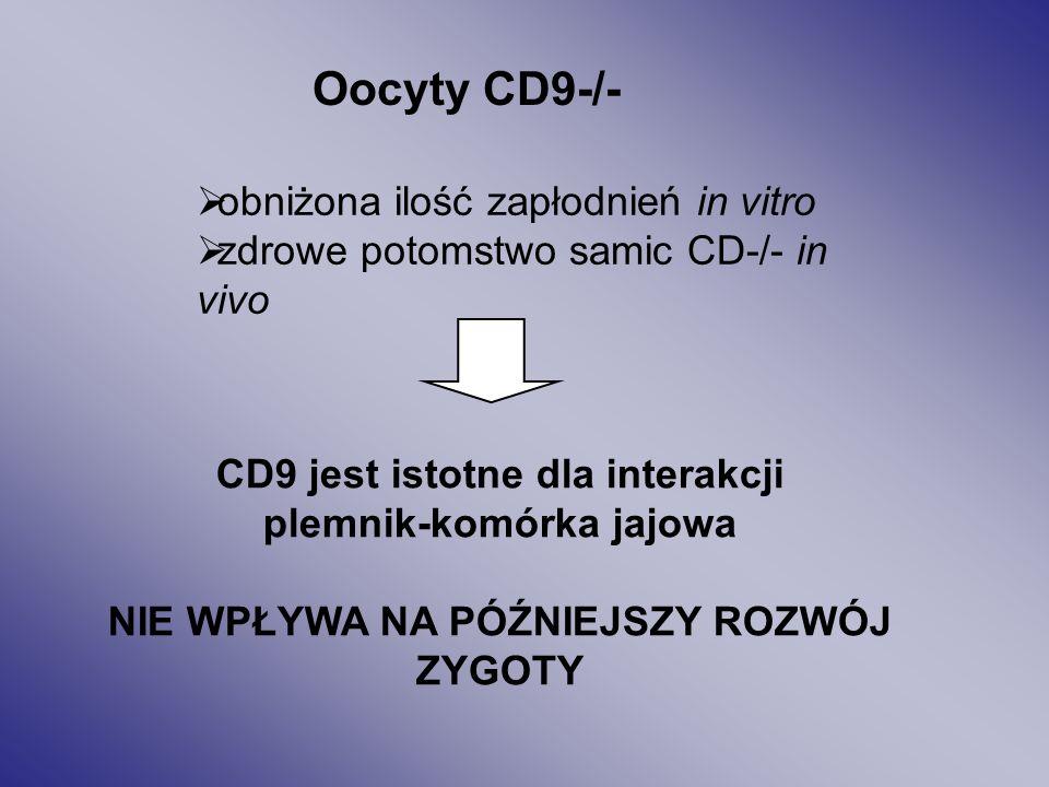 RysA. Obraz elektroforezy ilustrujący ekspresję białka CD9 RysB. Lokalizacja CD9 na powierzchni błony oocytu (met. immunofluoresc.)