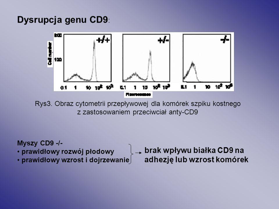 Rys.2 Model roli białka CD9 w oddziaływaniu z integryną α6β1 lub α3β1 ( wg Chena i wsp. 1999).