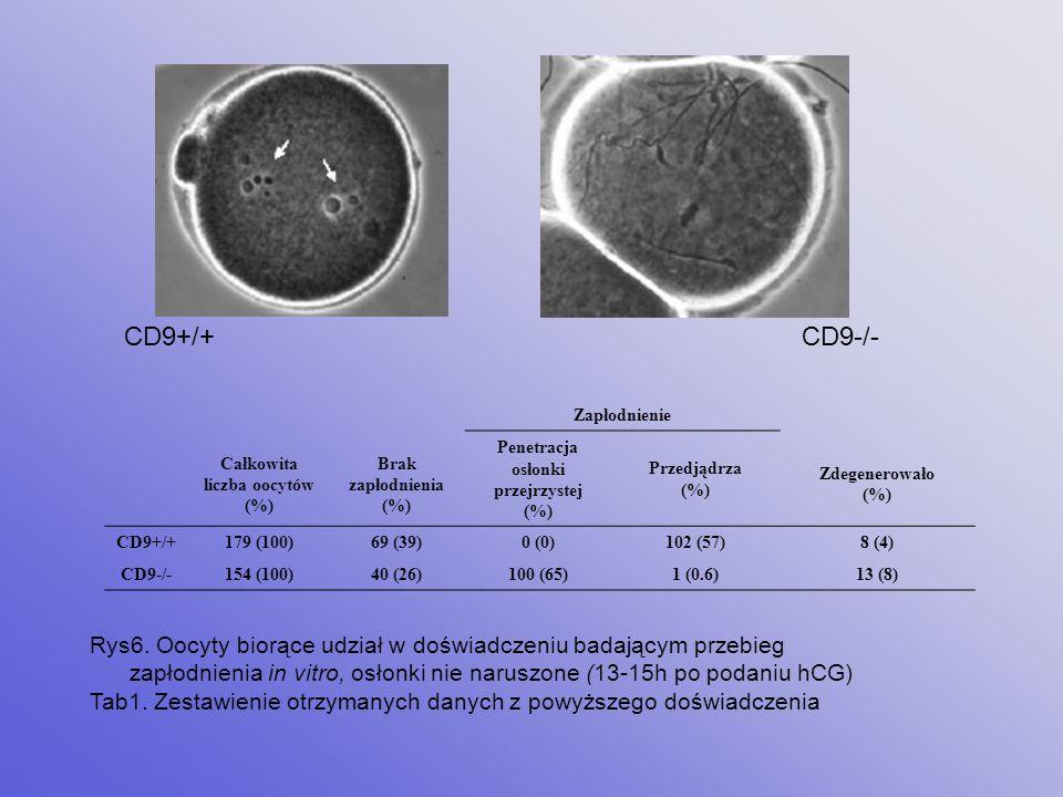 Zapłodnienie in vitro Oocyty CD9 -/- Oocyty CD9 +/+ 6h inseminacji z plemnikami CD9 +/+ Penetracja osłonki przejrzystej przez plemniki brak fuzji z pl