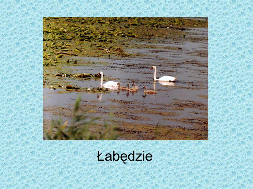 w czystych i głębokich, dobrze natlenionych jeziorach żyje: sandacz, sieja, sielawa Morze Bałtyckie jest bardzo ubogie w faunę z powodu zbyt niskiego