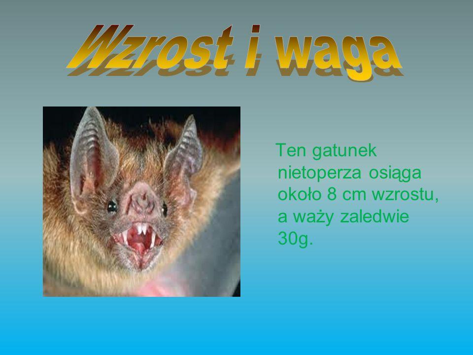 Ten gatunek nietoperza osiąga około 8 cm wzrostu, a waży zaledwie 30g.