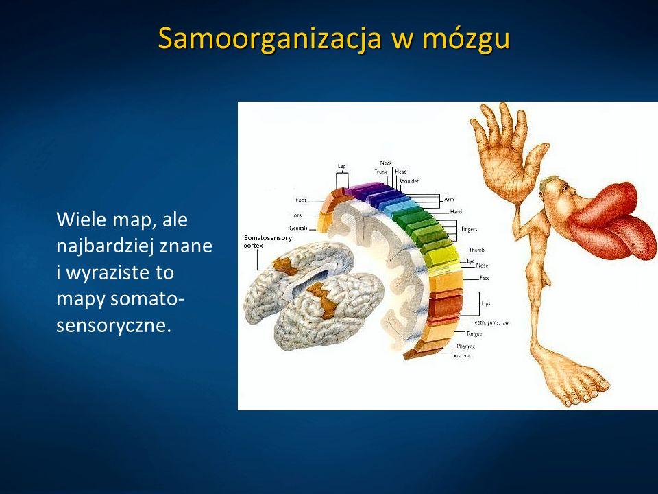Samoorganizacja w mózgu Wiele map, ale najbardziej znane i wyraziste to mapy somato- sensoryczne.