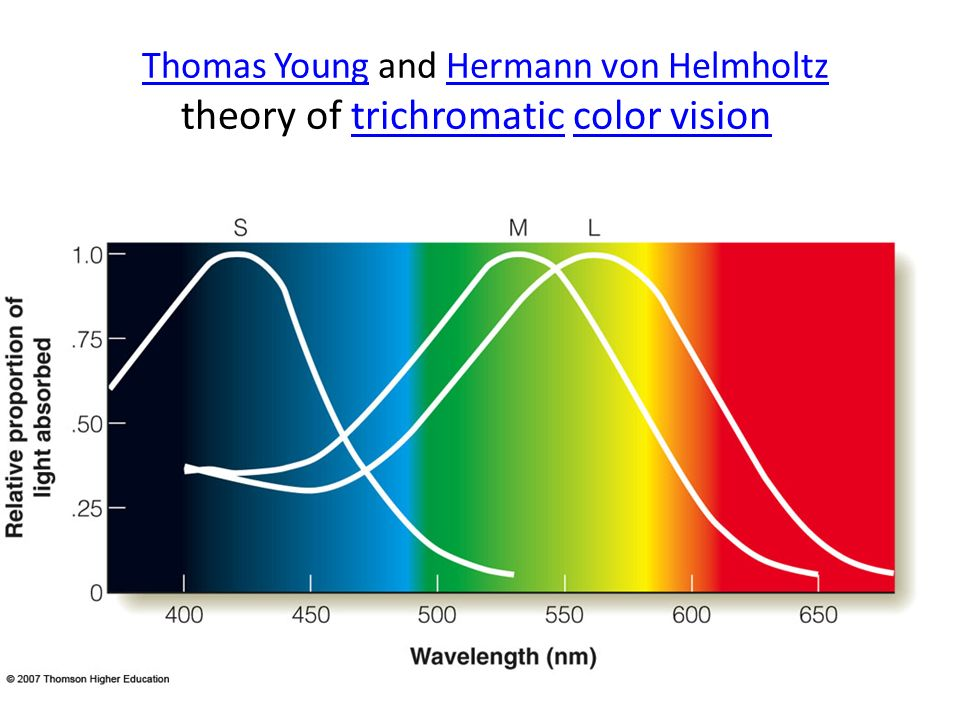 Thomas Young and Hermann von Helmholtz theory of trichromatic color vision Thomas YoungHermann von Helmholtztrichromaticcolor vision