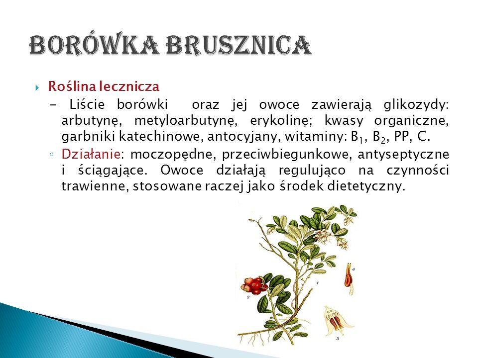 Roślina lecznicza - Liście borówki oraz jej owoce zawierają glikozydy: arbutynę, metyloarbutynę, erykolinę; kwasy organiczne, garbniki katechinowe, an