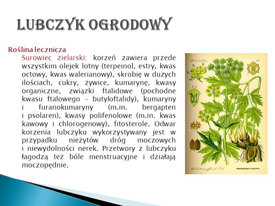 Roślina lecznicza Surowiec zielarski: korzeń zawiera przede wszystkim olejek lotny (terpeinol, estry, kwas octowy, kwas walerianowy), skrobię w dużych