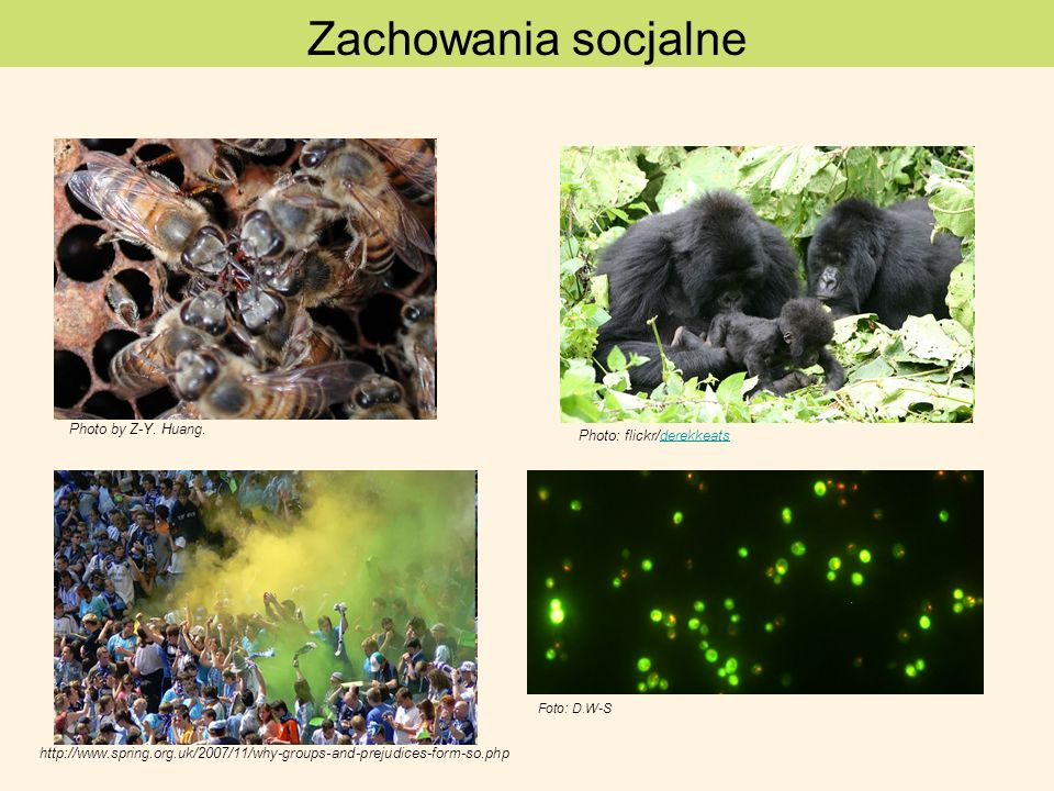 flokuliny HIPOTEZA: Osobniki współpracujące identyfikują się przez widoczny fenotyp (gen zielonej brody), kodowany przez gen plejotropowy zapewnia zachowanie współpracy bez względu na pokrewieństwo genetyczne Saccharomyces cerevisiae gen FLO1 Dictyostelium discoideum– gen csA rozróżnianie altruistów