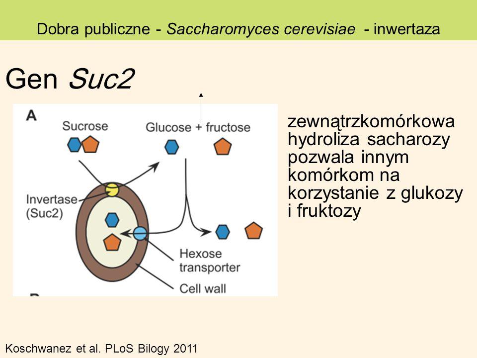 Dobra publiczne - Saccharomyces cerevisiae - inwertaza zewnątrzkomórkowa hydroliza sacharozy pozwala innym komórkom na korzystanie z glukozy i fruktoz