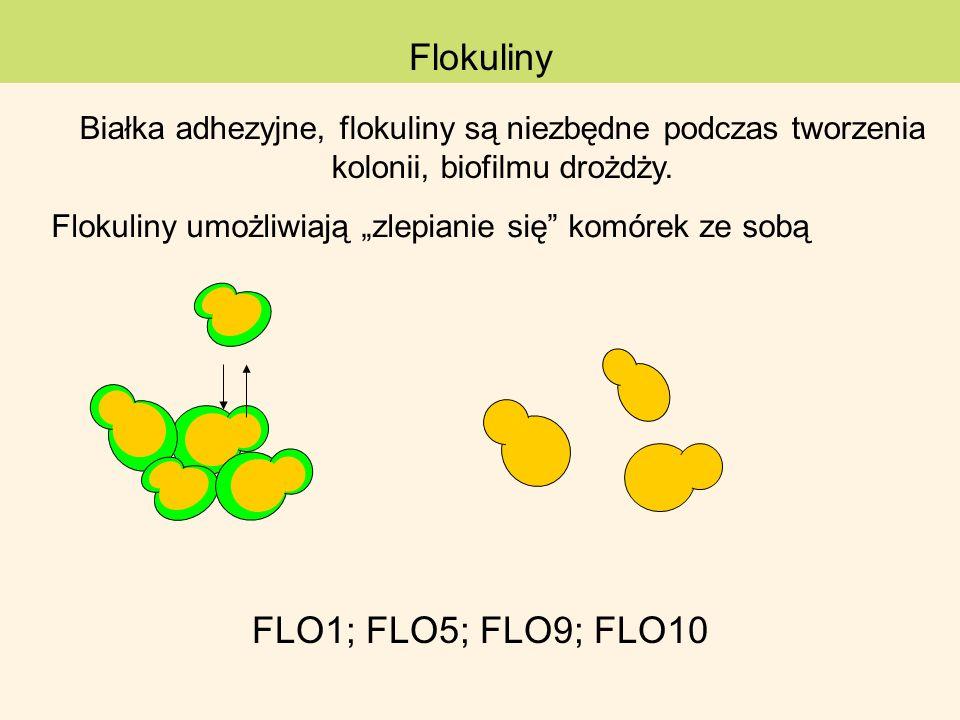 Flokuliny umożliwiają zlepianie się komórek ze sobą Flokuliny FLO1; FLO5; FLO9; FLO10 Białka adhezyjne, flokuliny są niezbędne podczas tworzenia kolon
