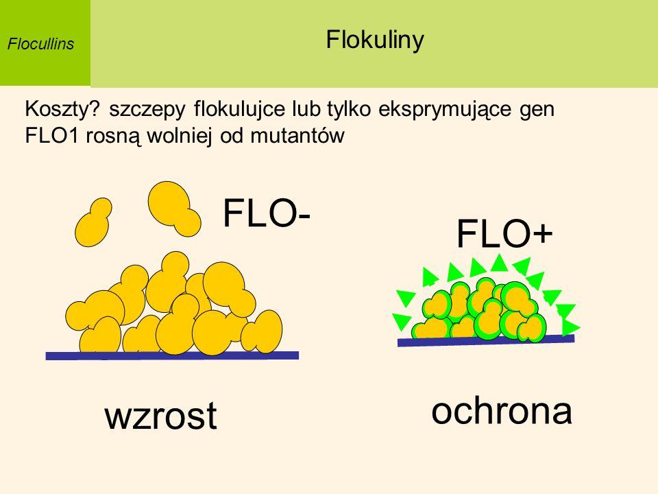 Flocullins Flokuliny Koszty? szczepy flokulujce lub tylko eksprymujące gen FLO1 rosną wolniej od mutantów ochrona wzrost FLO+ FLO-
