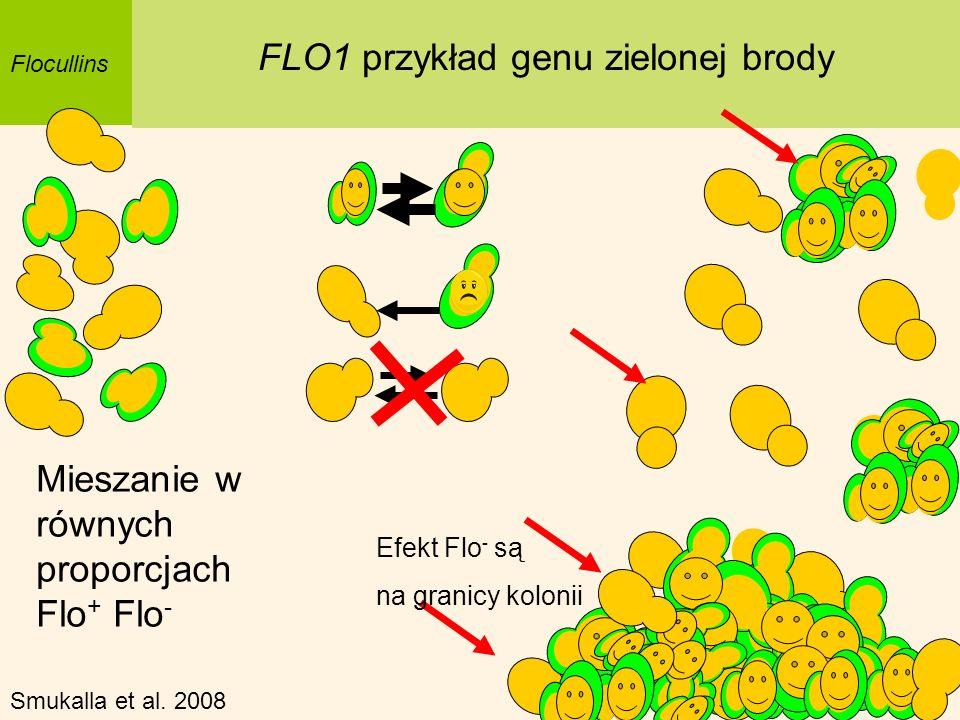 Flocullins FLO1 przykład genu zielonej brody Mieszanie w równych proporcjach Flo + Flo - Smukalla et al. 2008 Efekt Flo - są na granicy kolonii