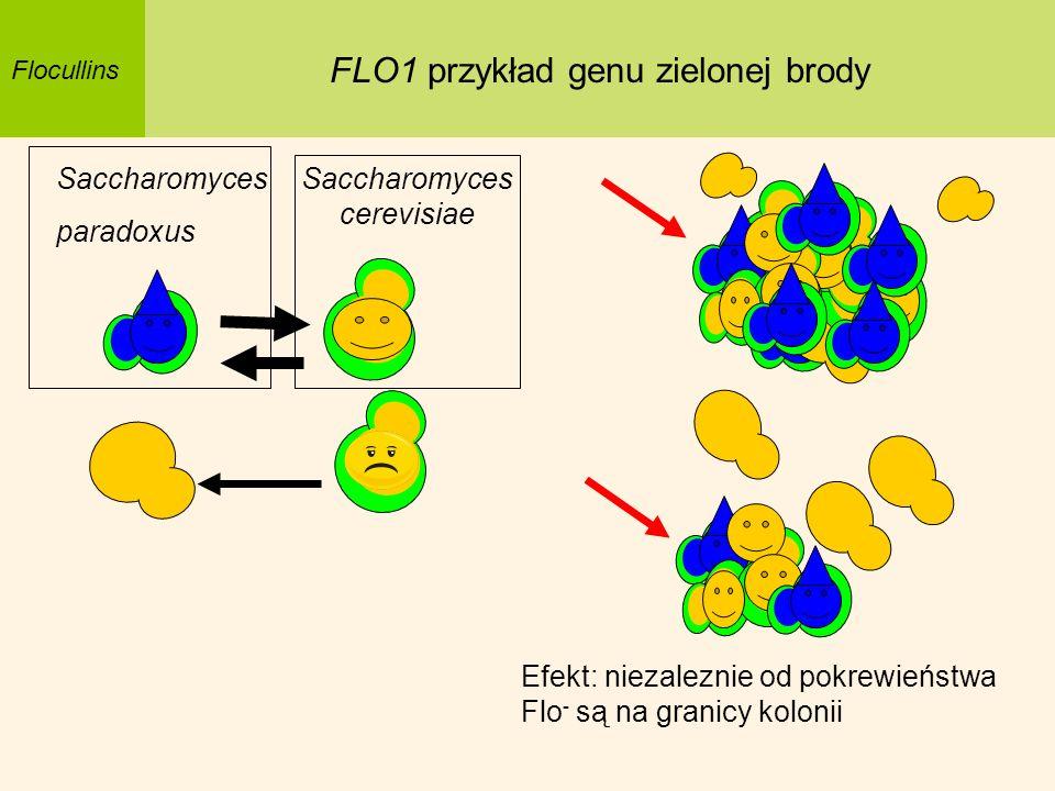 Saccharomyces paradoxus Flocullins FLO1 przykład genu zielonej brody Saccharomyces cerevisiae Efekt: niezaleznie od pokrewieństwa Flo - są na granicy
