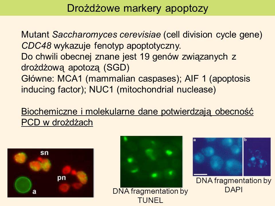 Drożdżowe markery apoptozy Mutant Saccharomyces cerevisiae (cell division cycle gene) CDC48 wykazuje fenotyp apoptotyczny. Do chwili obecnej znane jes