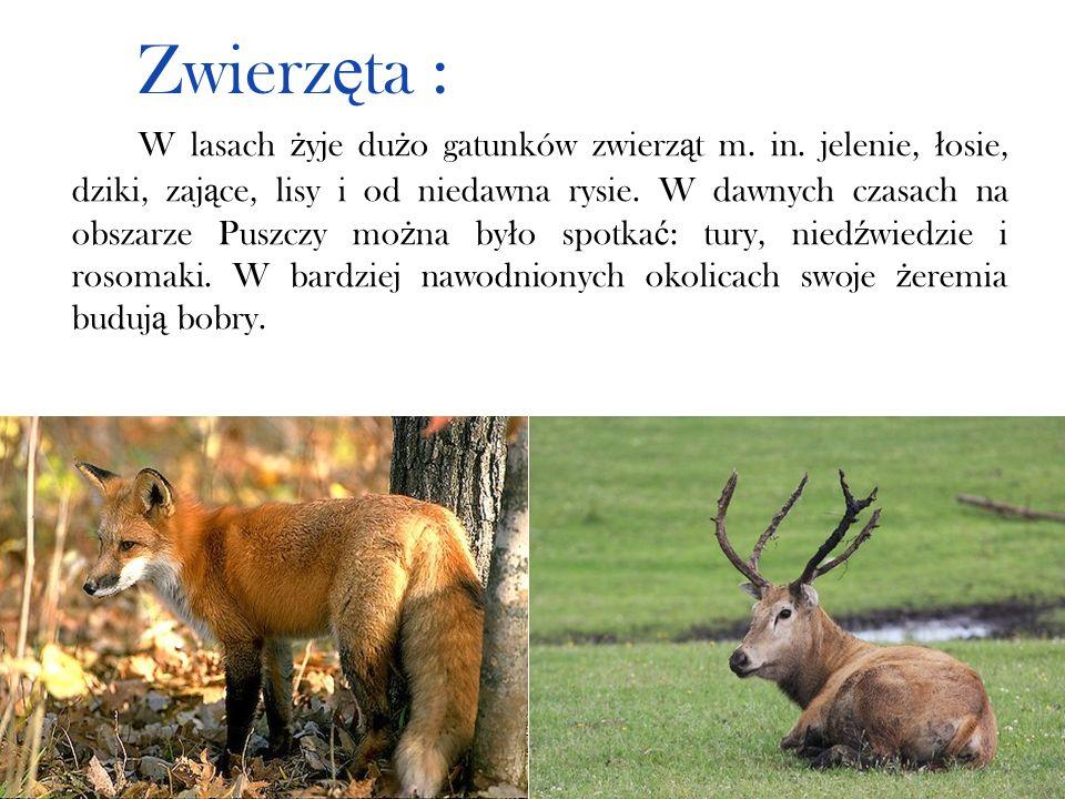 Zwierz ę ta : W lasach ż yje du ż o gatunków zwierz ą t m. in. jelenie, ł osie, dziki, zaj ą ce, lisy i od niedawna rysie. W dawnych czasach na obszar