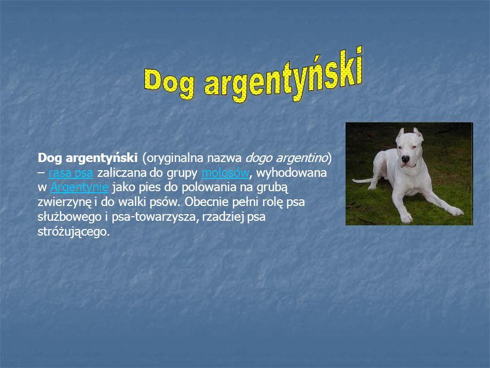 Dog argentyński (oryginalna nazwa dogo argentino) – rasa psa zaliczana do grupy molosów, wyhodowana w Argentynie jako pies do polowania na grubą zwier