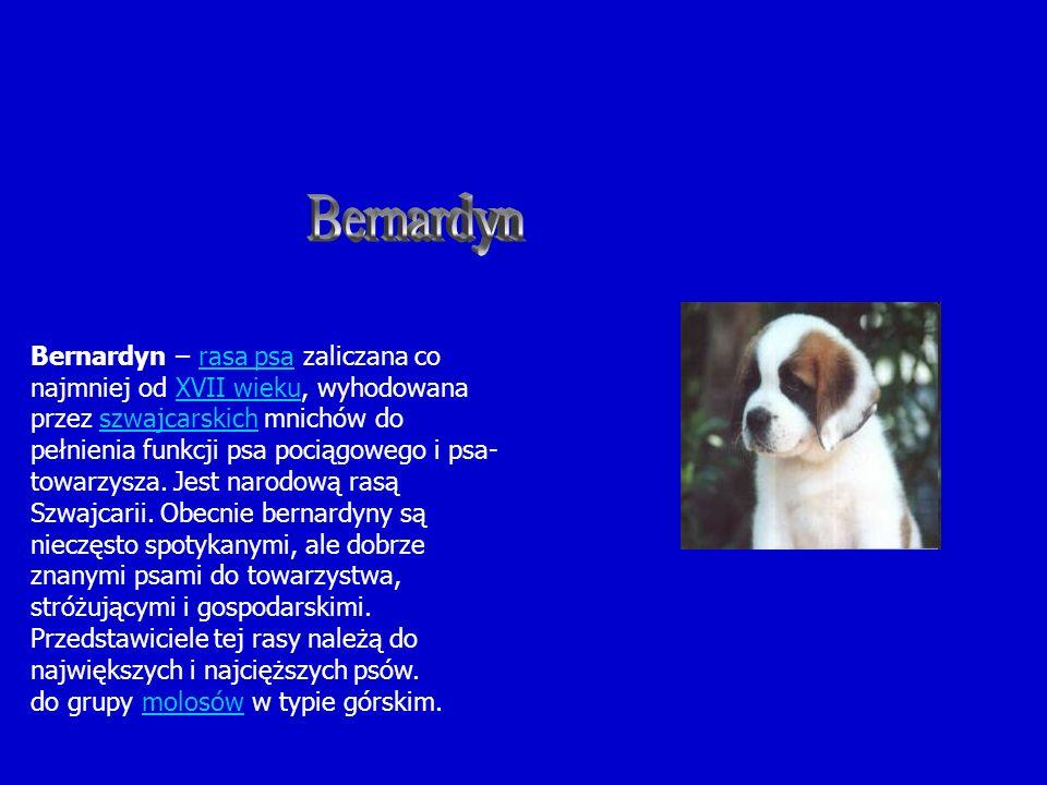 Bernardyn – rasa psa zaliczana co najmniej od XVII wieku, wyhodowana przez szwajcarskich mnichów do pełnienia funkcji psa pociągowego i psa- towarzysz
