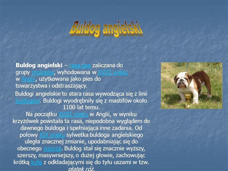 Buldog angielski – rasa psa zaliczana do grupy molosów, wyhodowana w XVIII wieku w Anglii, użytkowana jako pies do towarzystwa i odstraszający.rasa ps