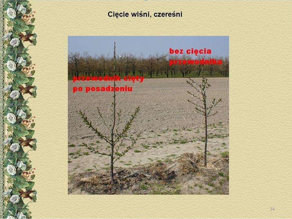 Cięcie wiśni, czereśni 34